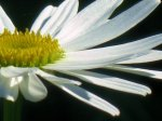 Акция «Белая ромашка»,  приуроченная к меджународному дню борьбы с туберкулёзом